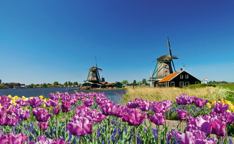 Tulips_Wind_Mills